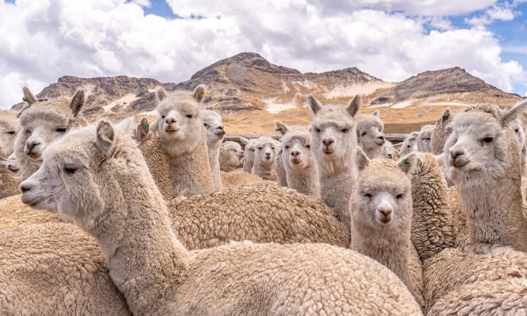 Alpaca vs Merino Wool