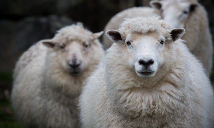 Merino wool vs alpaca