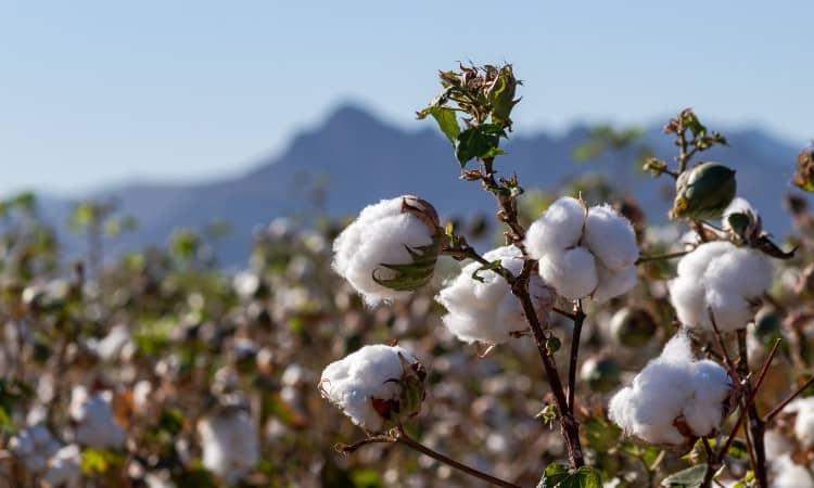 Pima Cotton vs. Egyptian Cotton