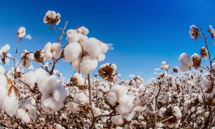 Pima vs Supima Cotton