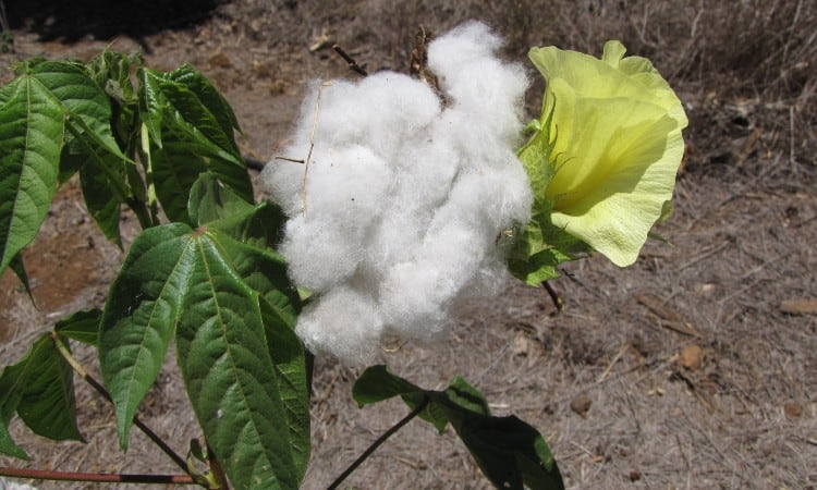 What is Pima Cotton Fabric